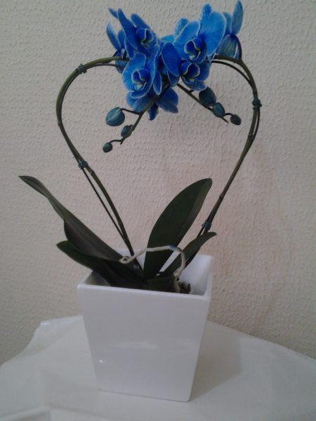 Orquídea Plalaenopsis Azul