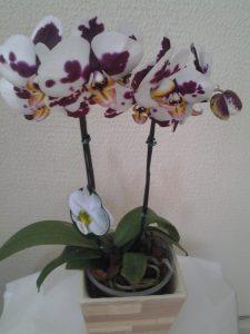 Orquídea Plalaenopsis Exótica