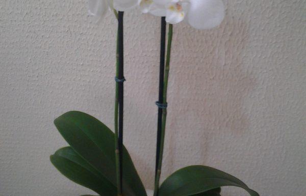 Orquídea Plalaenopsis Branca