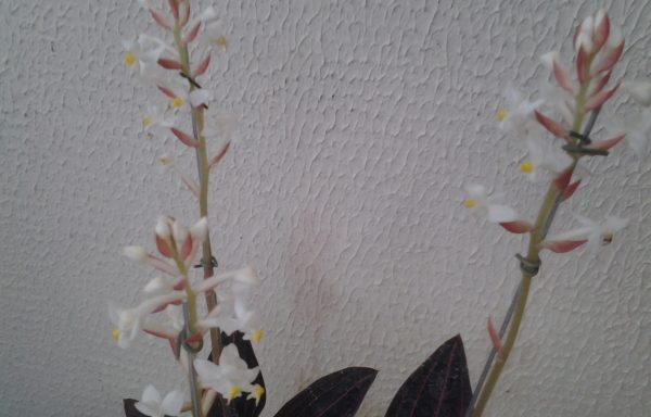 Orquidea Ludísia