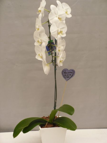 Orquídea Phalaenopsis com cachepot