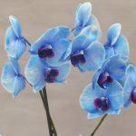 Orquídea Phalaenopsis Azul