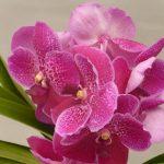 Orquídea Vanda