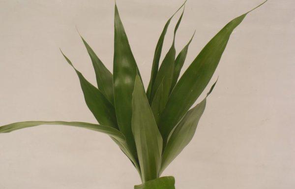 Bambu da Sorte – Pequeno