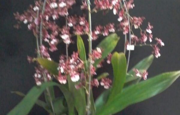 Cachepo com orquídea chocolate