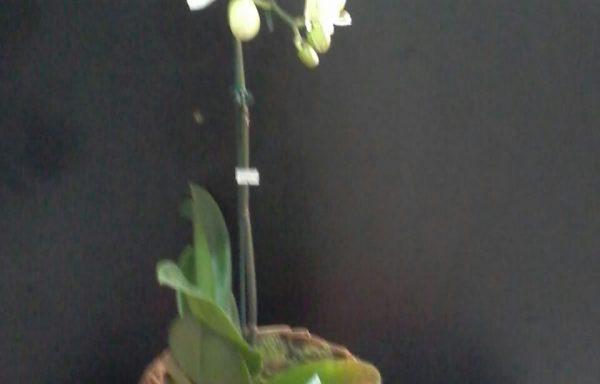 Orquídeas com cachepo rústico