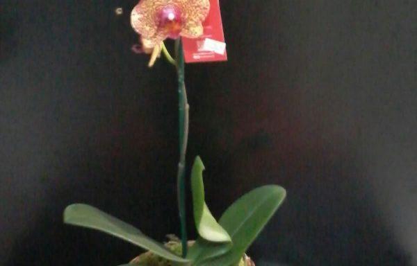 Phalienopsis mais cachepo