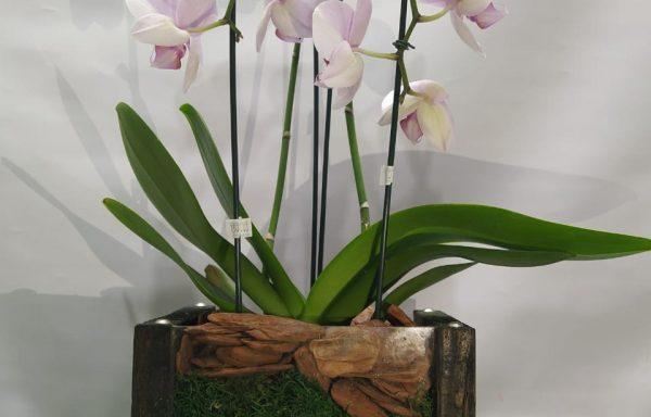 orquídea phalaenópsis