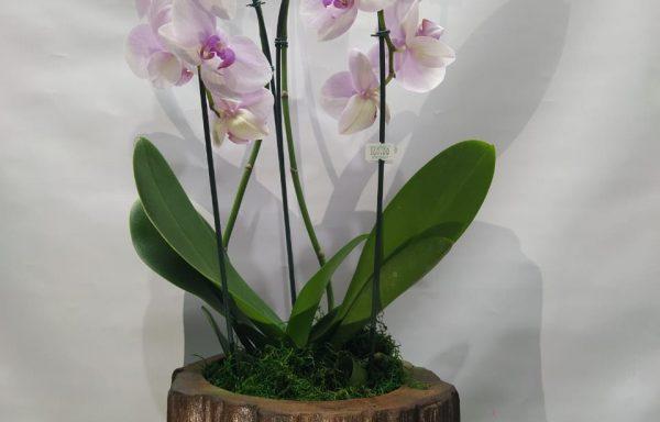 phalaenópsis